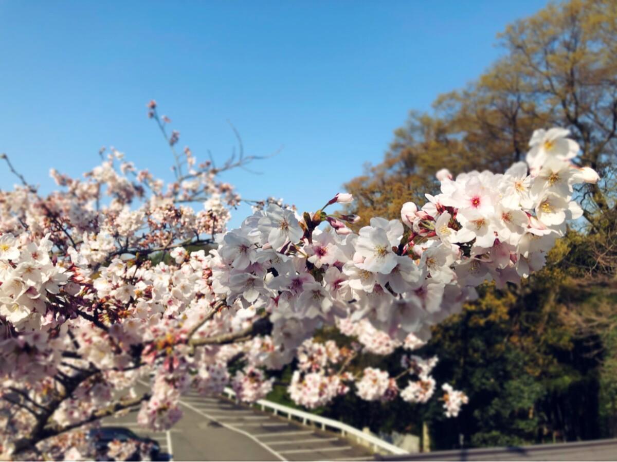 石鎚神社の桜